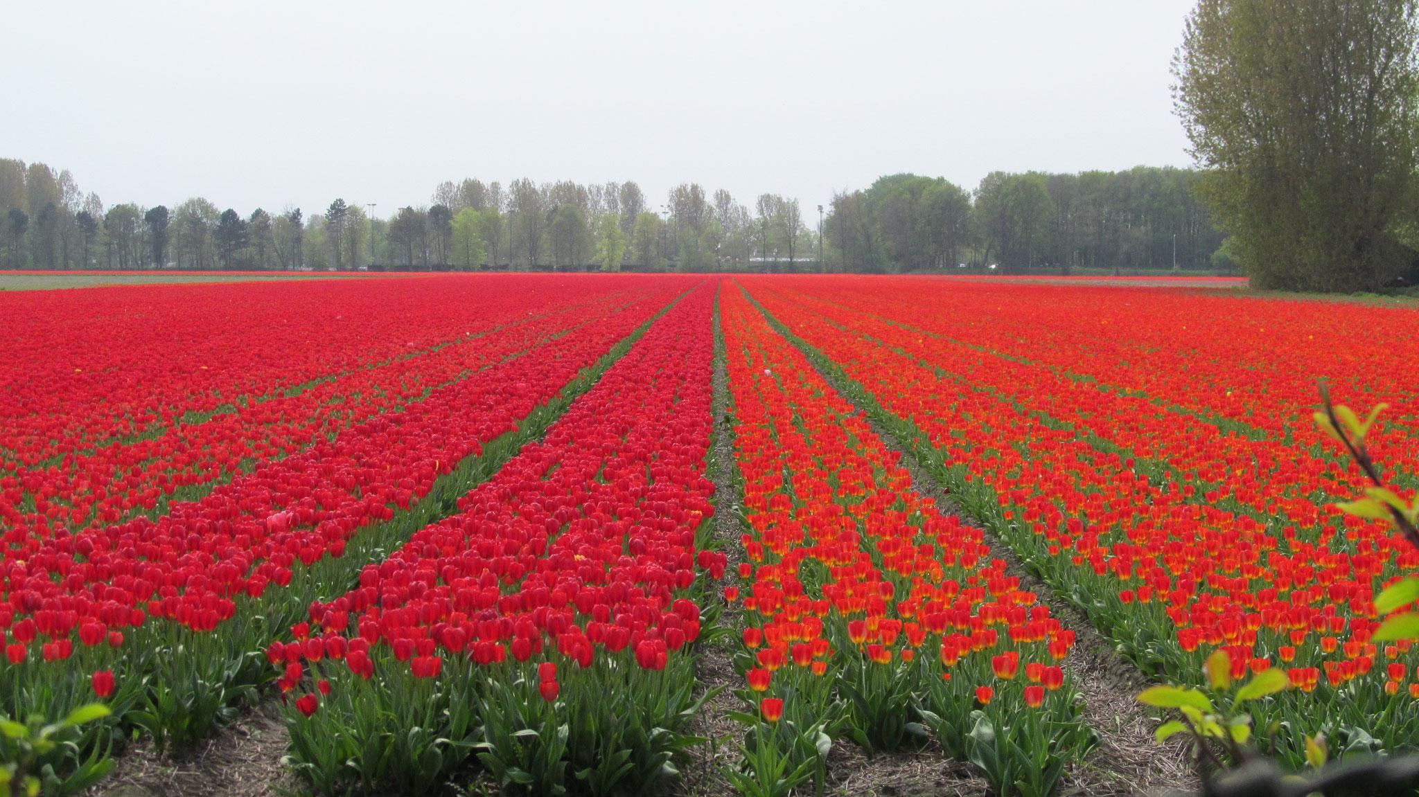 mit rad und dem schiff la belle fleur zur tulpenbl te in holland. Black Bedroom Furniture Sets. Home Design Ideas